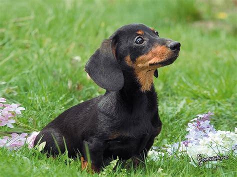 45+ Cutest Miniature Dachshund Dogs