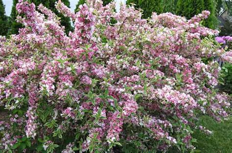 evergreen shrub with pink flowers weigela weigela spp by cheryl gabriele for a pretty shrub with interest from early spring