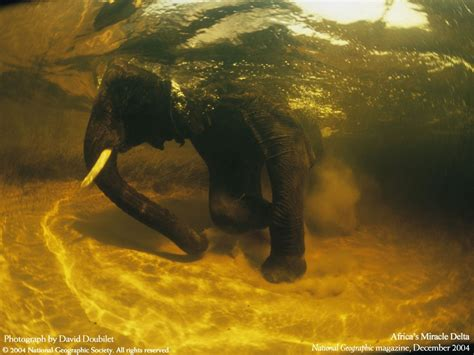 National Geographic Animal Hd Wallpapers - animals national geographic swimming elephants 1600x1200