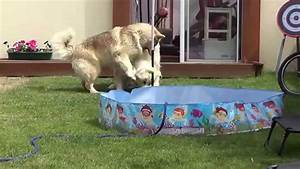 Timber wolf vs Alaskan malamute playing - YouTube