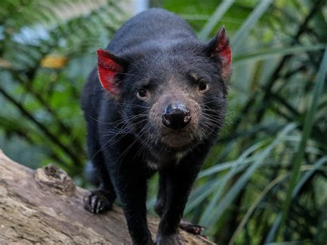 The devil's fur is all black just like its body. Tasmanian Devil Conservation :: Currumbin Wildlife Sanctuary