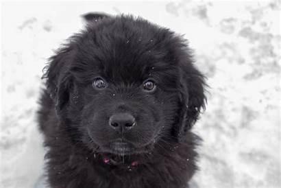Newfoundland Puppy Dog Sitting Dogs Retriever Whit