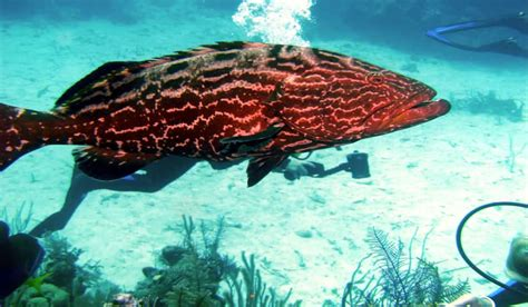 grouper goliath florida call anglers harvest outdoorhub 1000