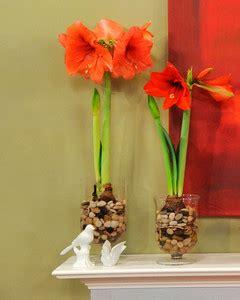 ways  plant amaryllis martha stewart