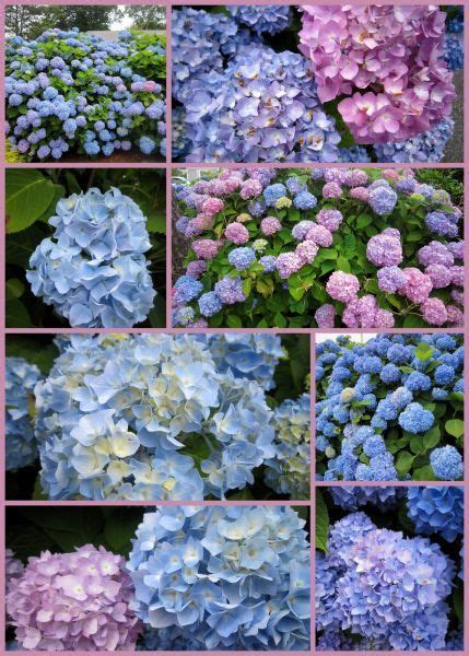 Hydrangeas & 4th Of July Activities In Cape Cod  A Few Of