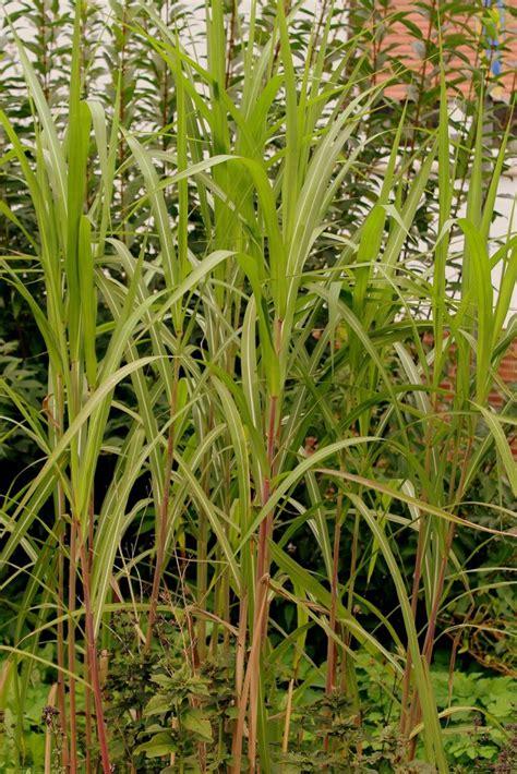 China Garten Pflanzen by China Schilf Miscanthus Sinensis Garten Wissen