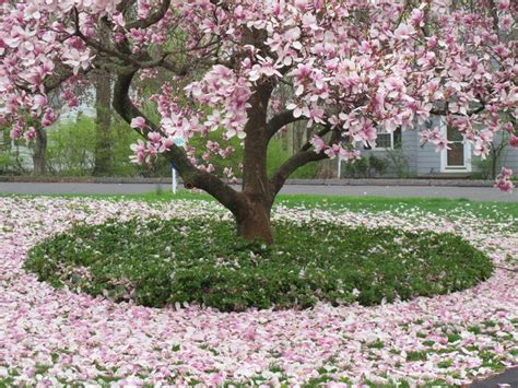 purple magnolia trees pin by suparna bahl bonham on secret garden pinterest