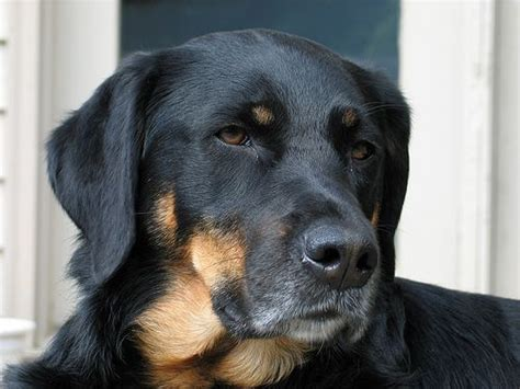 lets play guess  breed mix dogs rottweiler lab