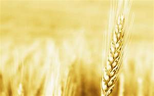 Wheat wallpaper | Wallpaper Wide HD