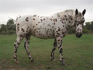 Colorado Range Horse and Pony of the Americas