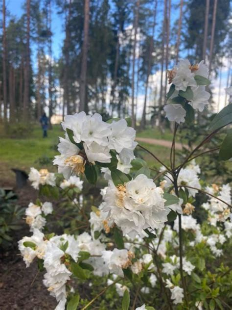 Brocēnu Mežaparka rododendru dārzs