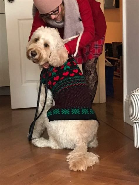 labradoodle christmas jumper we got dressed up in our jumpers miss darcy s adventures
