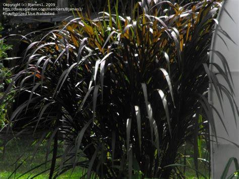 grass pennisetum purpureum zone 8a prince elephant 2009 davesgarden
