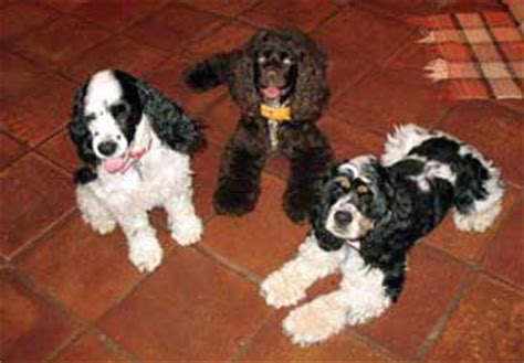 do spaniels shed shedding