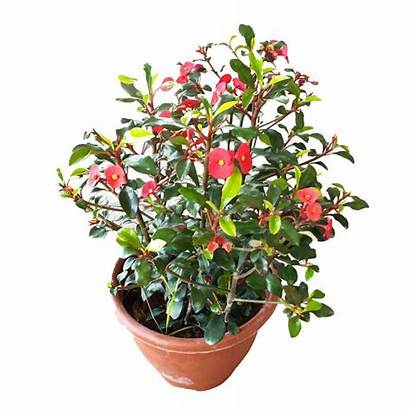 Farm Euphorbia Thornless