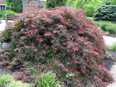 weeping japanese maple varieties weeping maples hello hello plants garden supplies