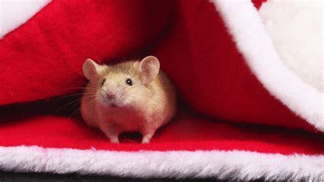 Download Wallpaper 1920x1080 Hamster Funny Hat Red Full