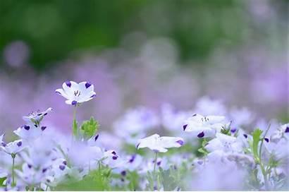 Lilac Flowers Purple Flower Screensavers Wallpapers Flax
