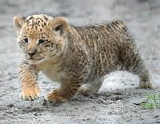 Baby White Ligers And Tigons for Pinterest  White Liger Cubs