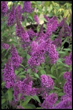 buddleja davidii buzz lavender compact buddleia butterfly bush plant in 9cm pot compact bush