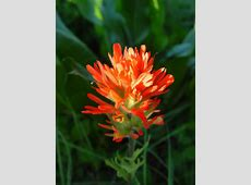 Castilleja hispida harsh Indian paintbrush growisernet