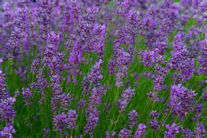 lavender bushes perennials purple flower perennial plants pictures to pin on pinterest pinsdaddy