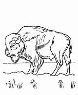 Bison Coloring Pages Printable Grass Eating Animal Bestcoloringpagesforkids Sheets sketch template