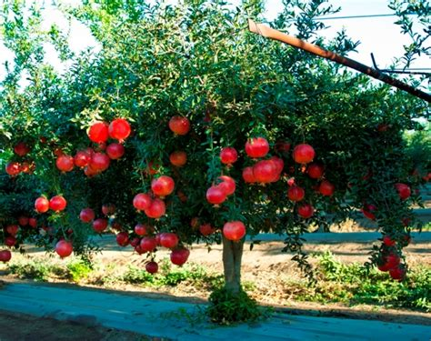 fruits garden pictures the project review trivia pomegranate the real forbidden fruit of the garden of eden