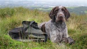 german wirehaired pointer breeders in the united states