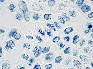 Onion Root Tip Cells In Mitosis Stock Photos