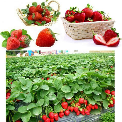 Red Fruit Seed Strawberry 100pcs Plants Home & Garden
