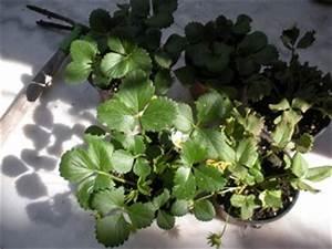 Faire Pousser Des Fraises : comment faire pousser des fraises sur son balcon ~ Melissatoandfro.com Idées de Décoration
