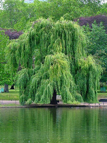 weeping willow tree weeping willow river bank
