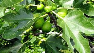 Planter Un Figuier : jardin comment planter et palisser un figuier ~ Melissatoandfro.com Idées de Décoration