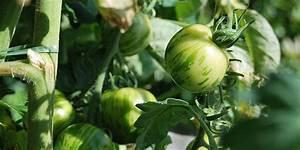 Pflanzen Kübel : tomaten in k bel pflanzen tomatenpflanzen im k bel ~ Pilothousefishingboats.com Haus und Dekorationen
