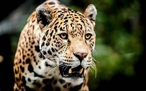 Jaguar muzzle big cat predator wallpaper   2560x1600 ...