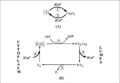 Enzymatic Cycle Diagram by Reaction Steps Of The Enzymatic Cycle Of Sr Ca 2 Atpase
