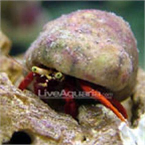 Decorator Crabs Reef Safe by Saltwater Crabs Hermit Crab Species For Saltwater Tanks