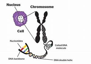 Chromosomes  U2013 Sci
