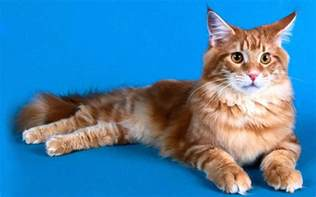maine coon cats for wallpapers maine coon cat wallpapers