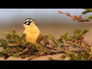Costa's Hummingbird | Doovi