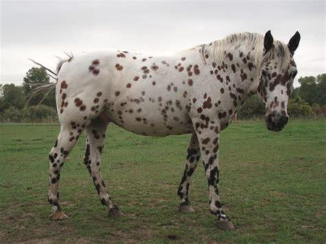 pony americas colorado range horse breeds horses