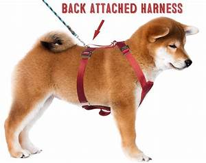 What U2019s Better For Your Shiba Inu  U2013 A Harness Or A Collar