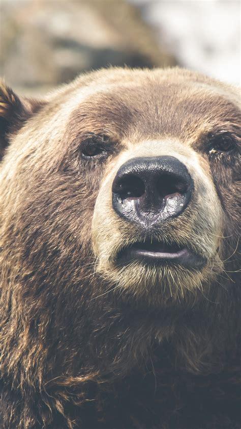 wallpaper brown bear bear cute animals funny animals