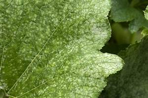 Spinnmilben An Gurken : gurken mehltau effektiv vorbeugen bek mpfen ~ Lizthompson.info Haus und Dekorationen