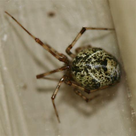 Giant House Spider Oregon