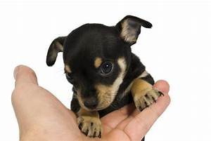 facts about the chihuahua rat terrier mix