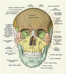 Diagram Of Human Skull By Graphicaartis