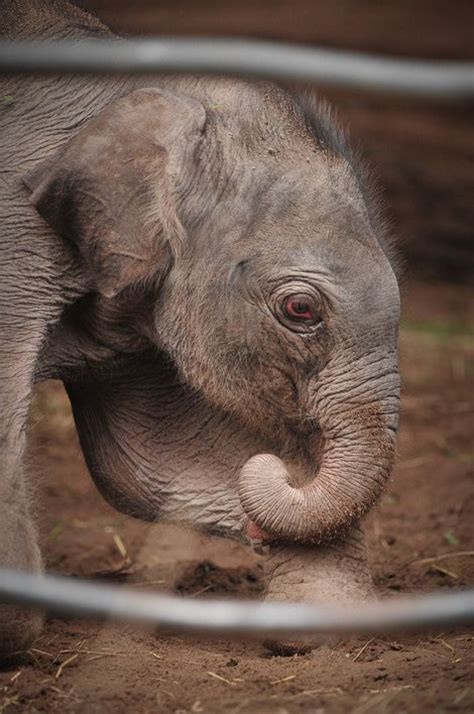 elephant elephants baby cute animals animal zooborns chester cutest funny zoo adorable babies zoos calf wild aquariums accredited newest asian