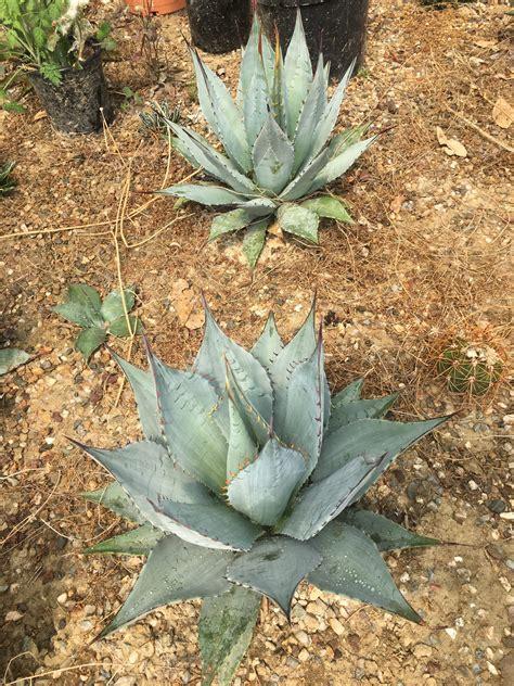 Agave deserti - Wiricactus